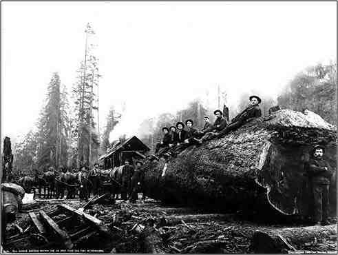 Ten horses hauling spruce log
