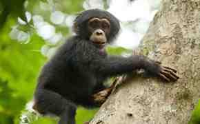 Movie Review: Chimpanzee 1